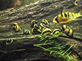 5 Zebra Thorn Nerite Snails (Neritina natalensis - 1/4 to 1/2 inch in diameter) by Aquatic Arts