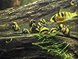 5 Zebra Thorn Nerite Snails (Neritina natalensis - 1/4 to 1/2 inch in diameter) by Aquatic Arts