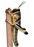 Swell Reptiles Livefood Locust pre-pack - Medium